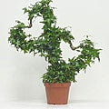 Ivy Side by Side Heart Topiary in Plastic Pot