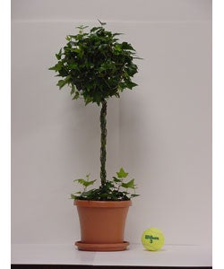 Ivy Solid Globe Topiary in Plastic Pot