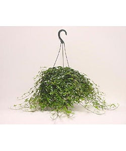 English Ivy Topiary in Eight-inch Indoor/Outdoor Hanging Basket