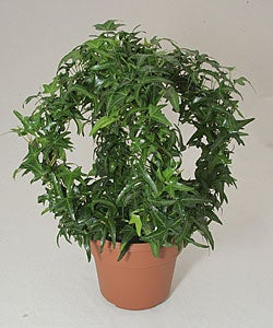 Ivy Gazebo in Plastic Terracotta Pot