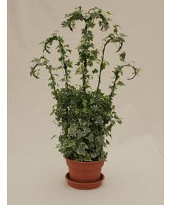 Ivy Wrought Iron Trellis in Plastic Terracotta Pot