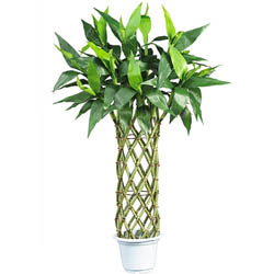 Silk Straight Lucky 3-foot Bamboo Tree