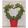 Variegated Ivy Heart in Red Pot Cover