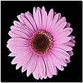 'Pink Gerbera Daisy' Small Gallery-wrapped Canvas Art
