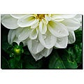 Kurt Shaffer 'White Dahlia' Gallery-wrapped Canvas
