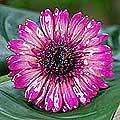 Silver 'Blossom into Fuchsia' Natural Gerbera Brooch (Thailand)