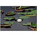 Kurt Shaffer 'White Lily' Gallery-wrapped Canvas Art