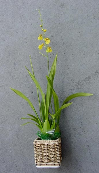 Kaimu Potted Oncidium Orchid Plant 918287 Overstock