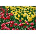 Kurt Shaffer 'Red and Yellow Tulips II' Canvas Art