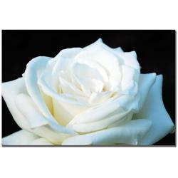 Kurt Shaffer 'White Rose II' Canvas Art