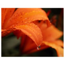 Orange Cat Art Jill M. Davis 'Dew on Lily' Photographic Print