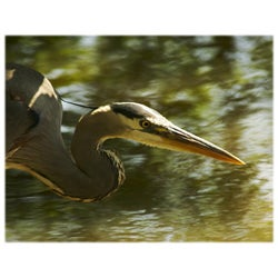 Orange Cat Art Jill M. Davis 'Great Blue Heron' Photographic Print