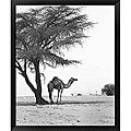 Alexis De Vilar 'Camel and Tree, Desert of Mauritania' Framed Art Print