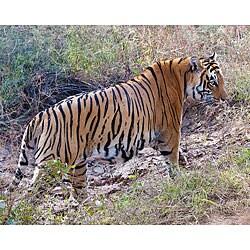 Stewart Parr 'Bengal Tiger in India' Horizontal Photograph