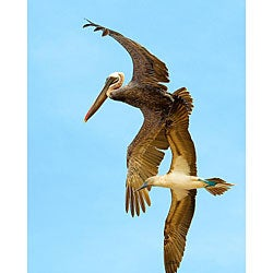 Stewart Parr 'Bird in Galapagos Islands Brown Pelican and Blue Footed Booby' Photo Art