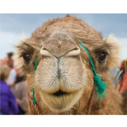 Stewart Parr 'Camel in Morocco One Hump' Unframed Photo Print