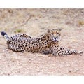 Stewart Parr 'Cheetah in South Africa at Rest' Photo Print