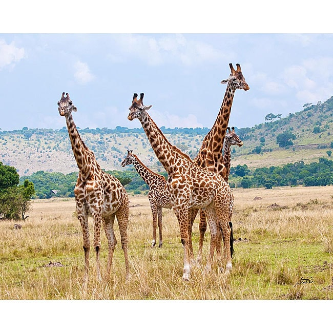 Stewart Parr 'Giraffes in Kenya Family Meeting' Photo Art
