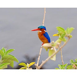 Stewart Parr 'Bird in Kenya Malachite Kingfisher' Photograph