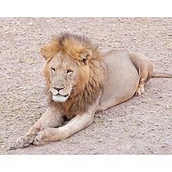 Stewart Parr 'Lion in the Kenya Serengeti Plains Posing' Photo Print