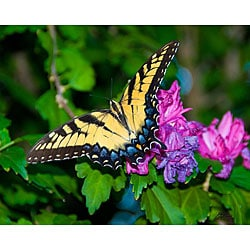 Stewart Parr 'Butterfly with Rose of Sharon Flower' Photograph