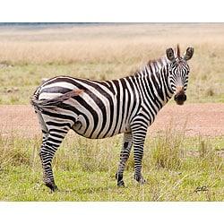 Stewart Parr 'Zebra in Kenya' Unframed Print