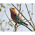 Stewart Parr 'Lilac Breasted Roller Bird in South Africa' Unframed Print