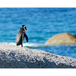 Stewart Parr 'Penguin in South Africa Facing Water' Unframed Print