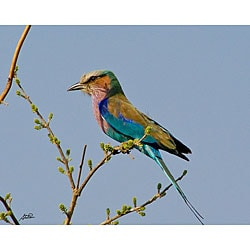 Stewart Parr 'Lilac Breasted Roller Bird in South Africa Side View' Photograph