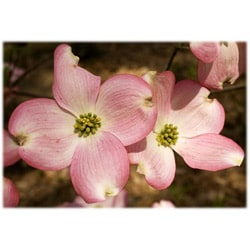 Orange Cat Art Jill M. Davis 'Pink Dogwood Flowers' Photographic Print