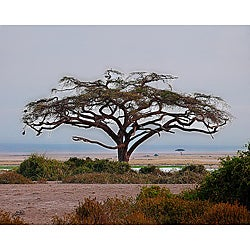 Stewart Parr 'Kenya - Acacia Tree' Unframed Photo Print