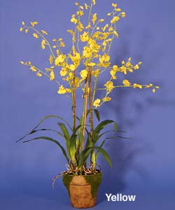 Dancing Lady Orchid with Moss Pot