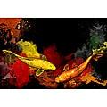 Maxwell Dickson 'Koi Fish' Canvas Wall Art