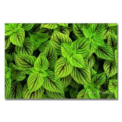Kathie McCurdy 'Coleus' Canvas Art