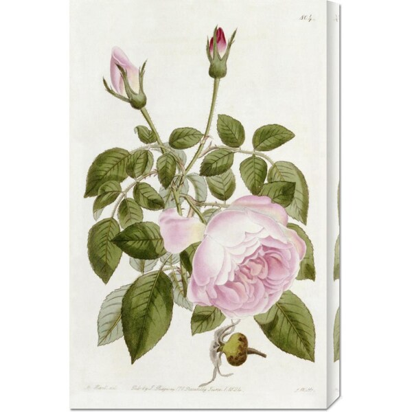 John Lindley 'Illustration From The Botanical Register' Stretched Canvas Art