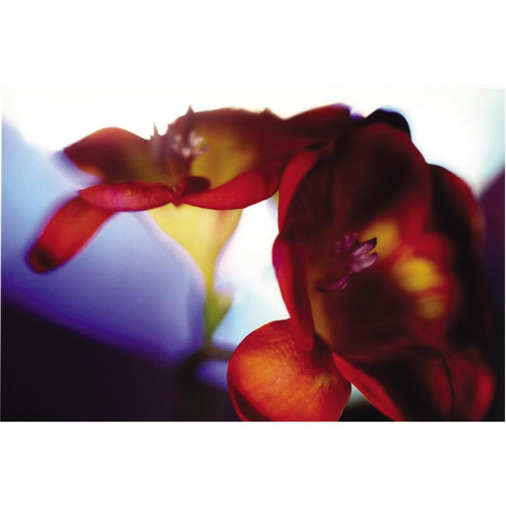 Delilah Dyson Freesia Closeup Gallery wrapped Canvas Art