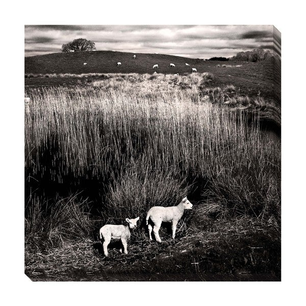 Lambs Oversized Gallery Wrapped Canvas