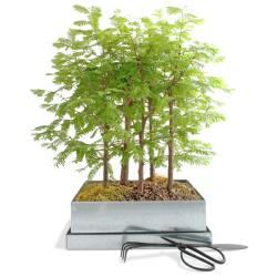 Redwood Forest Growing Kit