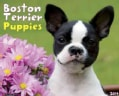 Boston Terrier Puppies 2014 Calendar (Calendar)