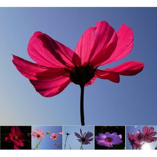 Miette Michie Cosmos Nature Photograph Note Cards (Pack of 6)