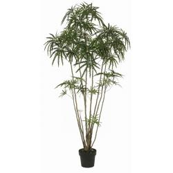6-foot Tall Finger Aralia Tree with Pot