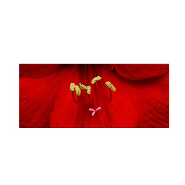Kurt Shaffer 'Red Amaryllis' Canvas Art
