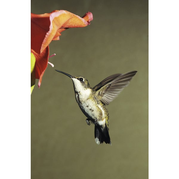 Tom Brakefield 'Female Ruby-Throated Hummingbird Eastern USA' Photography Canvas Print