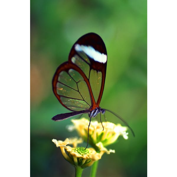 John Foxx 'Butterfly Close-up' Photography Canvas Print