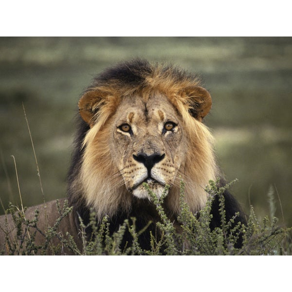 'Headshot of Lion Lying Down' Photography Canvas Print