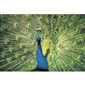 'Peacock Displaying Fanned Out Feather' Photography Canvas Print