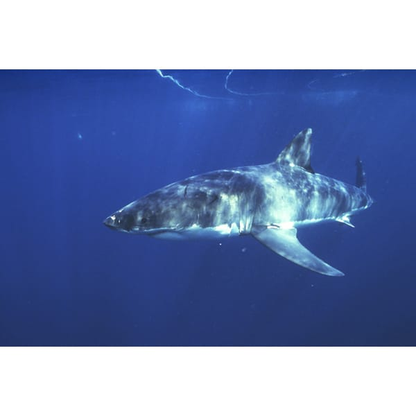 'Great White Shark Sea Life' Photography Canvas Print