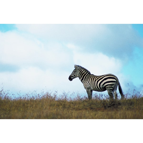 'Portrait of a Zebra' Photography Canvas Print
