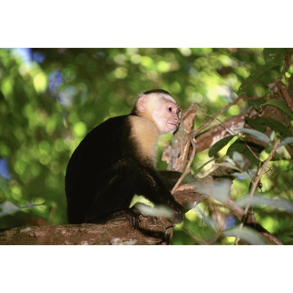 'White-faced Capucin Monkey in Costa Rica' Photography Canvas Print
