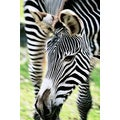 'Zebra Close-up' Photography Canvas Print